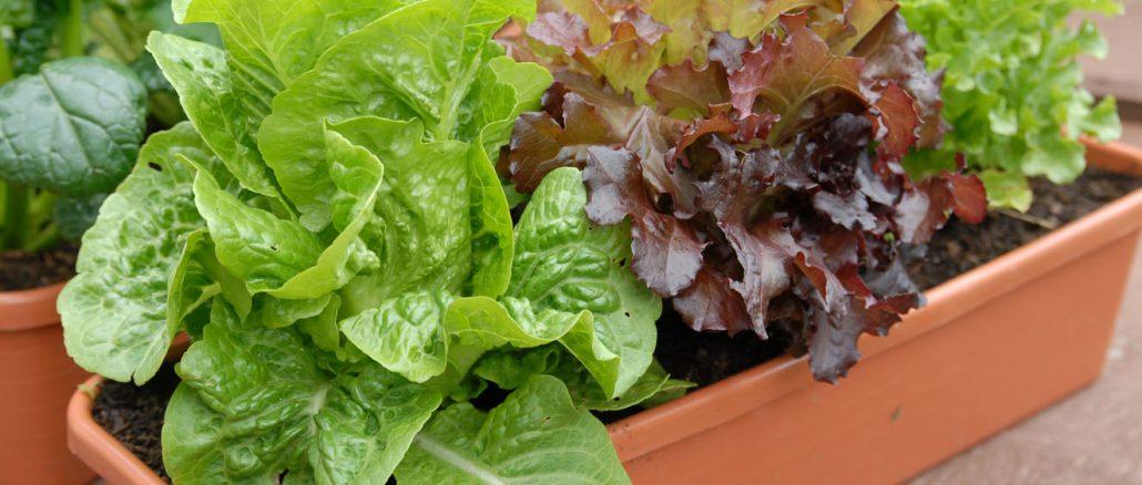 Jardineira com Alfaces, o que plantar em agosto?