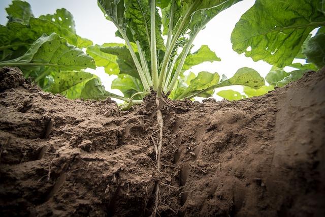 Buraco ao lado de um pé de hortaliça, expondo as raízes