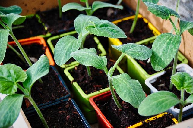 Mudas de vegetais em pequenos potes.